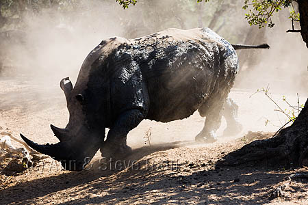 White rhino (Ceratotherium simum), Mkhuze game reserve, KwaZulu Natal, South Africa, June 2016